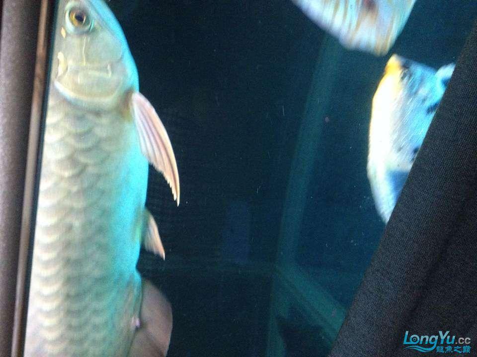 求助大神帮忙看看这怎么回事怎么医 西安观赏鱼信息 西安博特第2张