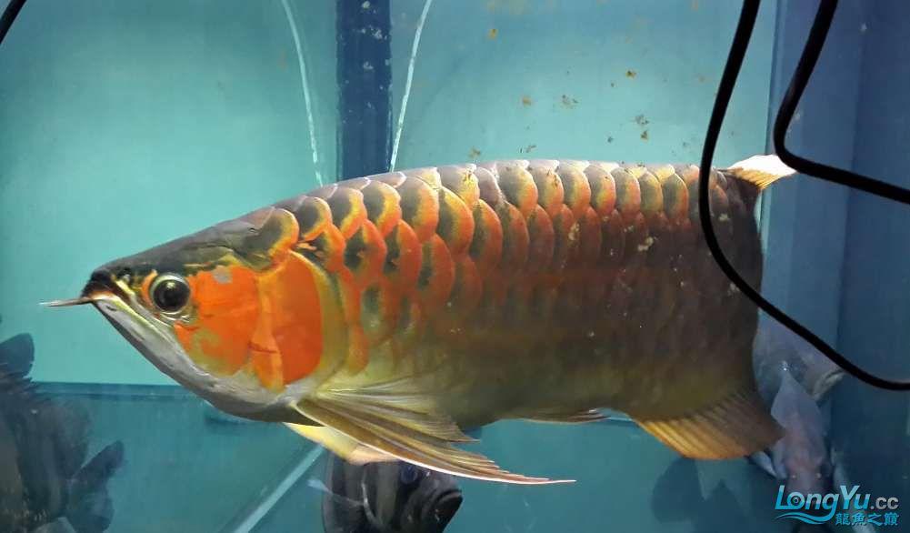 【西安鱼缸厂家】全白灯60cm+ 西安龙鱼论坛 西安博特第2张