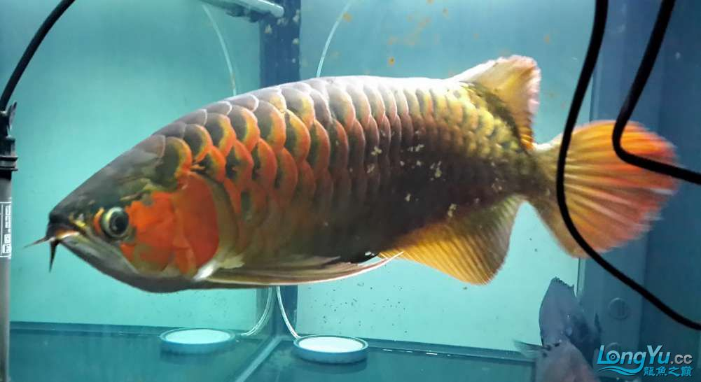 【西安鱼缸厂家】全白灯60cm+