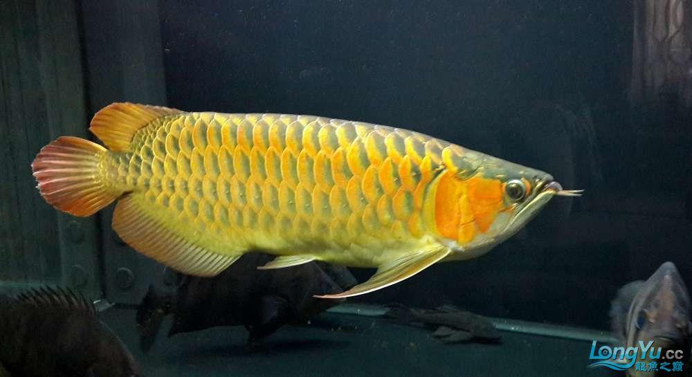 【西安鱼缸厂家】全白灯60cm+ 西安龙鱼论坛 西安博特第4张