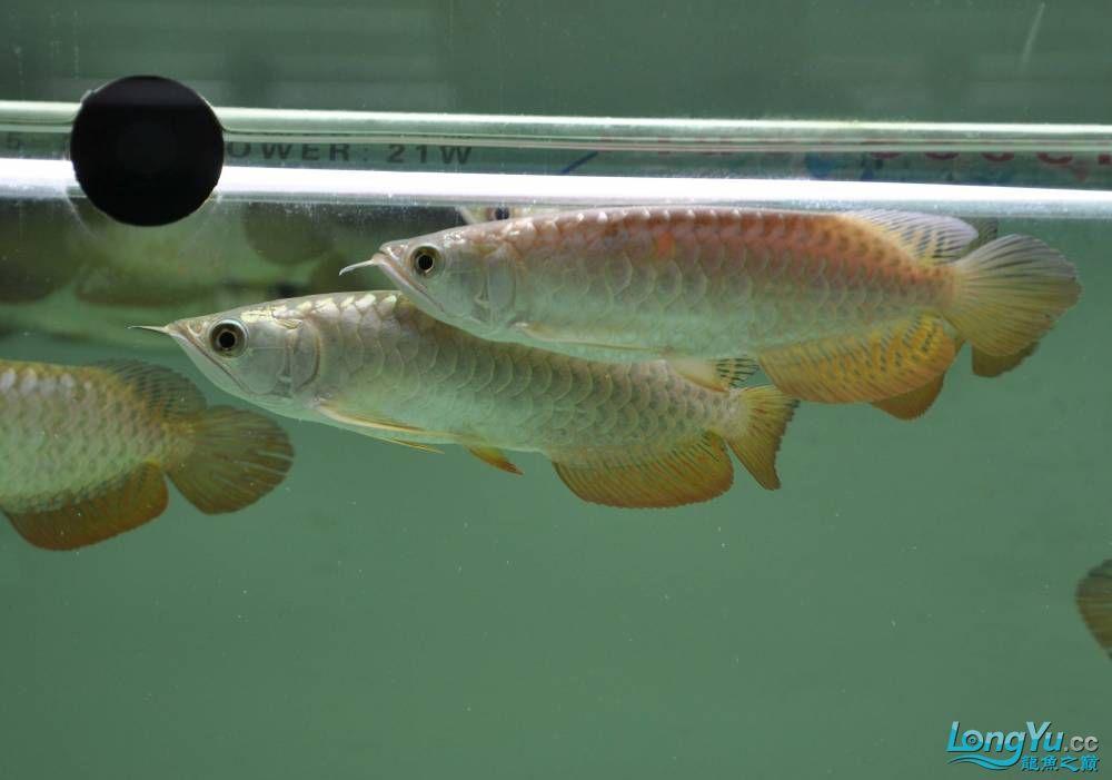 新狮龙新年第一季新狮皇龙 西安观赏鱼信息 西安博特第11张