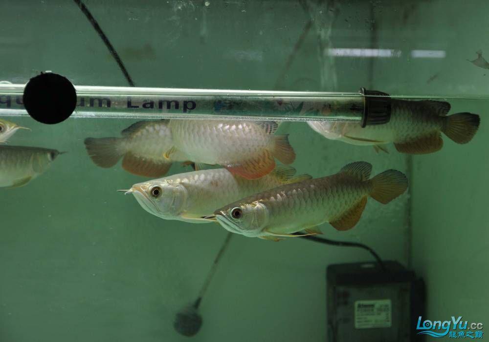 新狮龙新年第一季新狮皇龙 西安观赏鱼信息 西安博特第12张