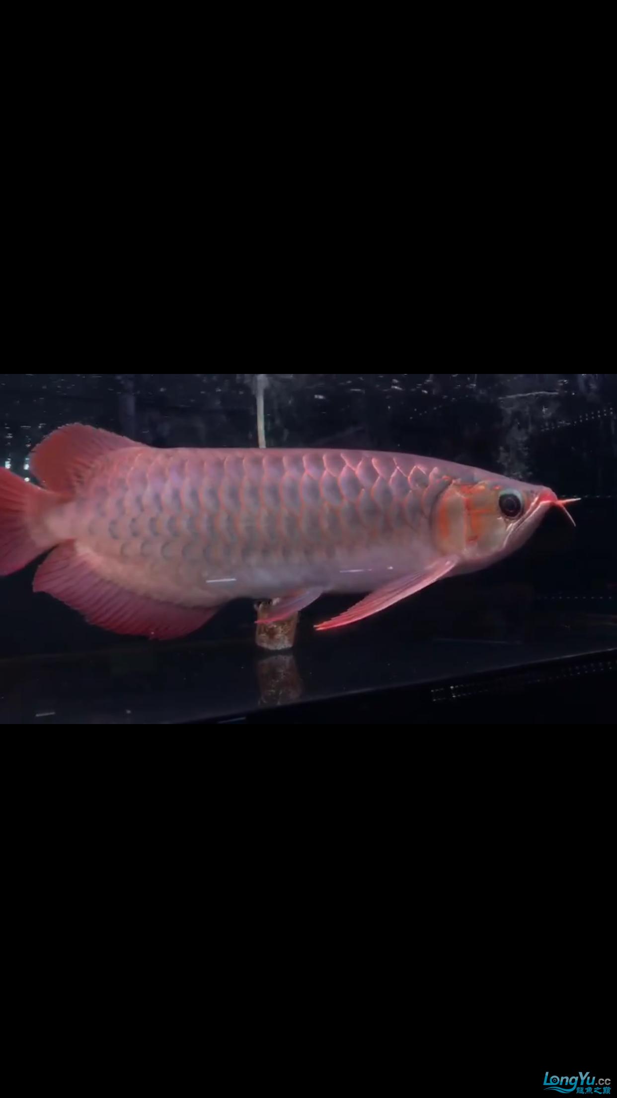 各位大师帮忙看看这条红龙怎么样32公分 西安龙鱼论坛 西安博特第2张