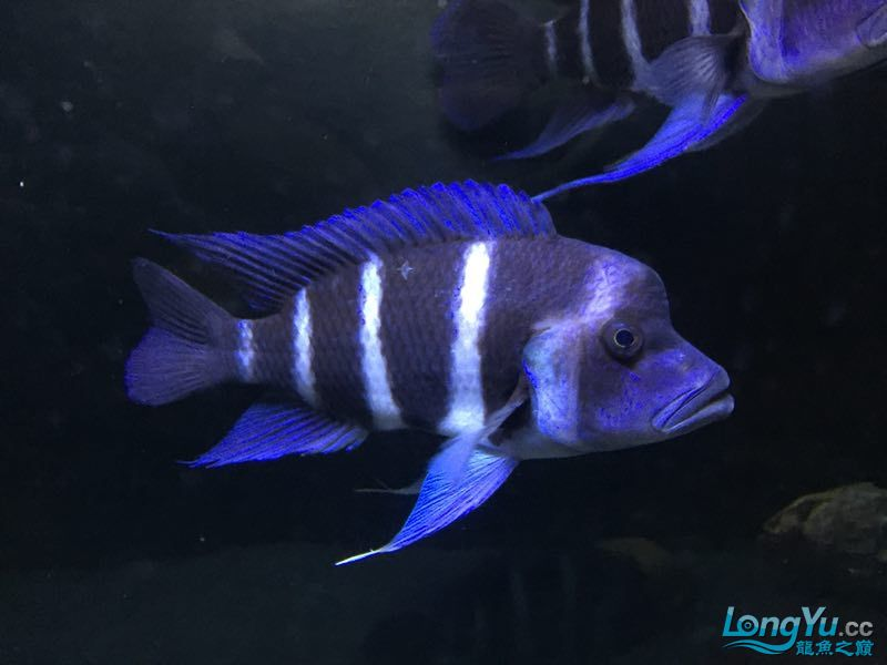 好看三湖慈鲷 西安龙鱼论坛 西安博特第3张