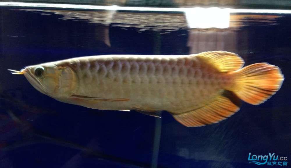 传说中的尾部3毫米白线【西安银龙 西安观赏鱼信息 西安博特第1张