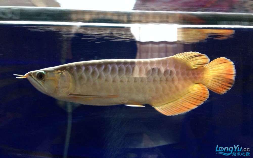 传说中的尾部3毫米白线【西安银龙 西安观赏鱼信息 西安博特第2张