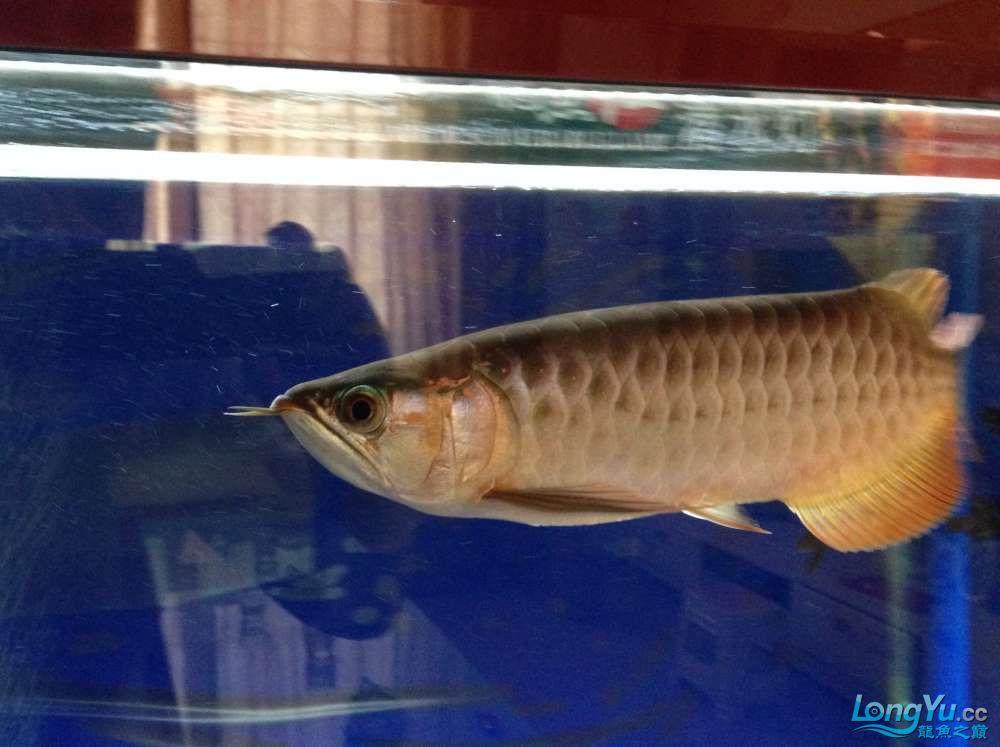 传说中的尾部3毫米白线【西安银龙 西安观赏鱼信息 西安博特第4张