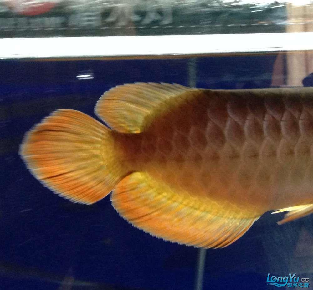 传说中的尾部3毫米白线【西安银龙 西安观赏鱼信息 西安博特第7张