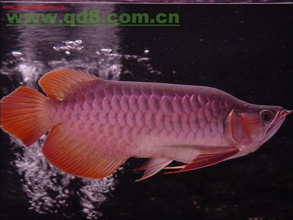 红腹水虎鱼是所有水虎鱼的始祖爷爷大家认可不认可的点赞 西安观赏鱼信息