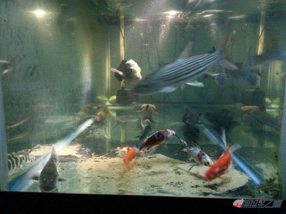 屌丝男渴望一个超大鱼缸 西安龙鱼论坛 西安博特第4张