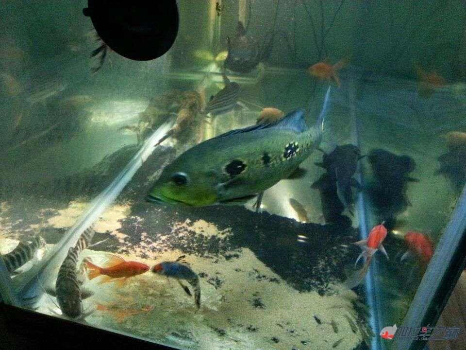 屌丝男渴望一个超大鱼缸 西安龙鱼论坛 西安博特第5张