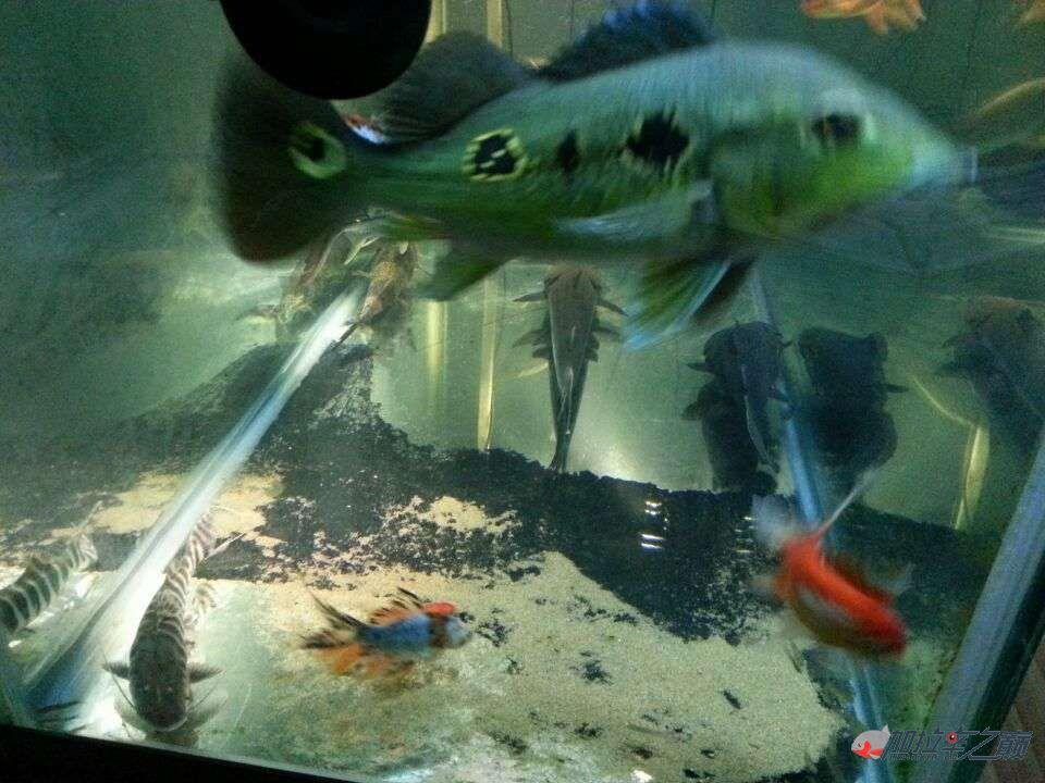 屌丝男渴望一个超大鱼缸 西安龙鱼论坛 西安博特第7张