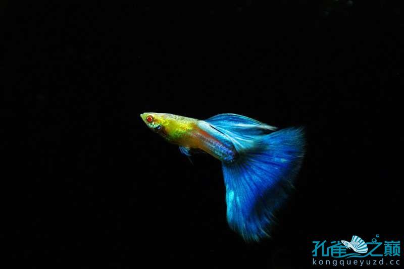 日本白金蓝孔雀鱼 西安龙鱼论坛 西安博特第2张