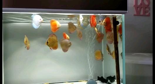 【西安高品质泰金罗汉鱼】自家养的七彩鱼友们指导下 西安观赏鱼信息