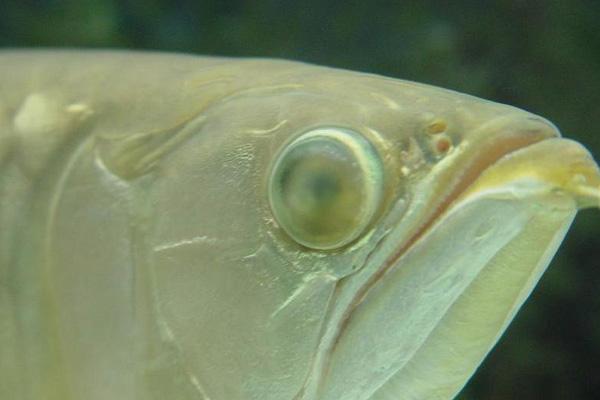 龙鱼蒙眼原因——水质氢 西安龙鱼论坛 西安博特第1张