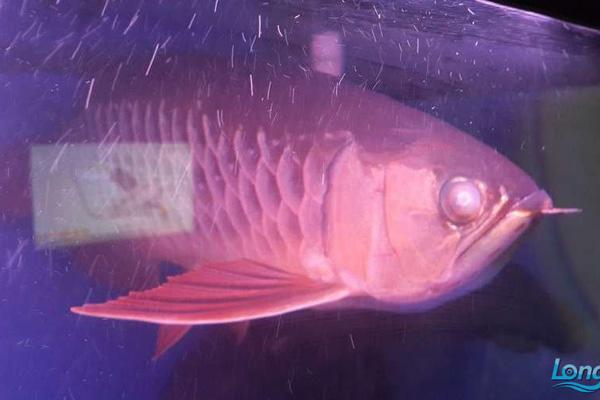 龙鱼蒙眼原因——水质氢 西安龙鱼论坛 西安博特第2张