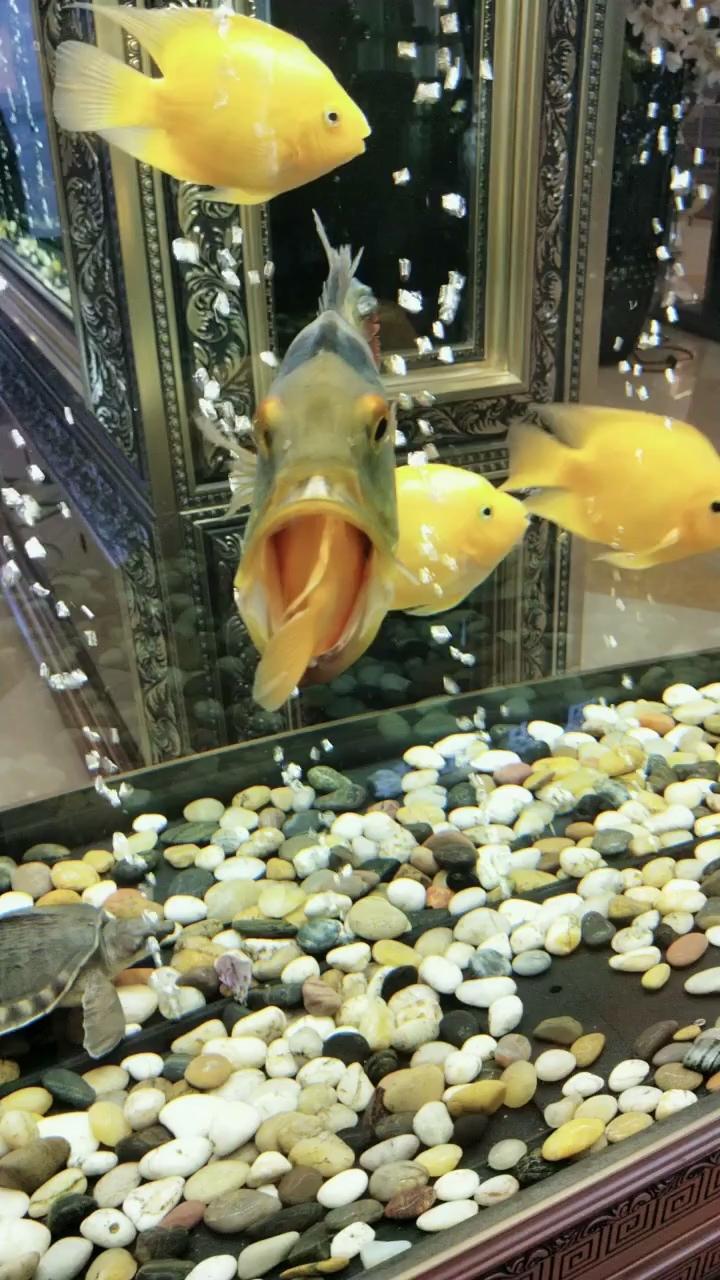 嘴大吃四【西安花鸟鱼虫市场在哪】方龙鱼 西安龙鱼论坛 西安博特第1张
