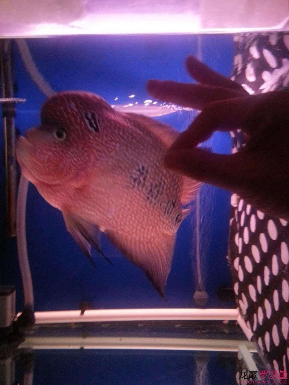 贼罗堂有好罗+ 爱鱼点点 西安龙鱼论坛 西安博特第6张