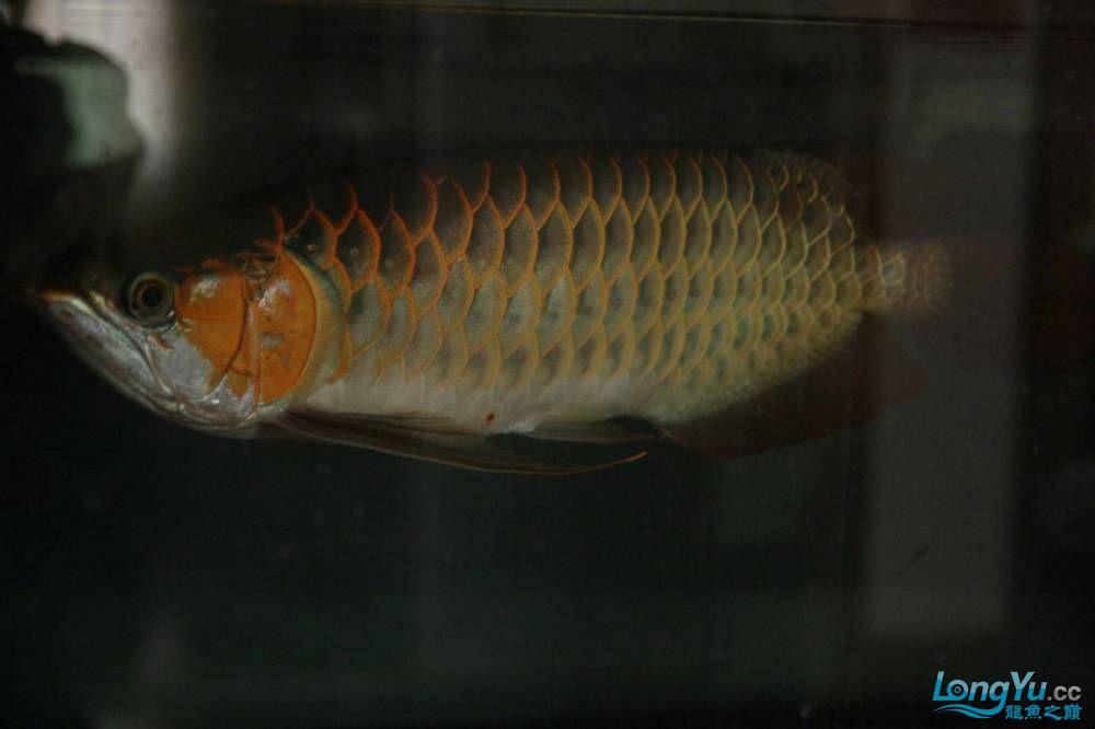 发色一半的红龙不同灯光效果请狠批 西安观赏鱼信息 西安博特第2张
