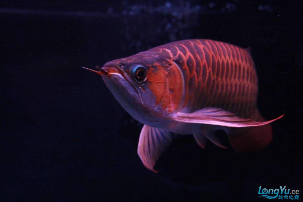 发色一半的红龙不同灯光效果请狠批 西安观赏鱼信息 西安博特第4张