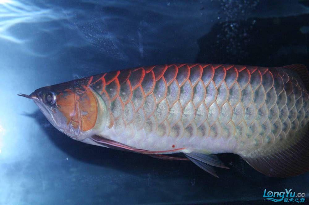 发色一半的红龙不同灯光效果请狠批 西安观赏鱼信息 西安博特第3张