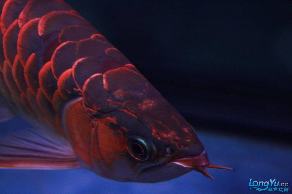 发色一半的红龙不同灯光效果请狠批 西安观赏鱼信息 西安博特第6张