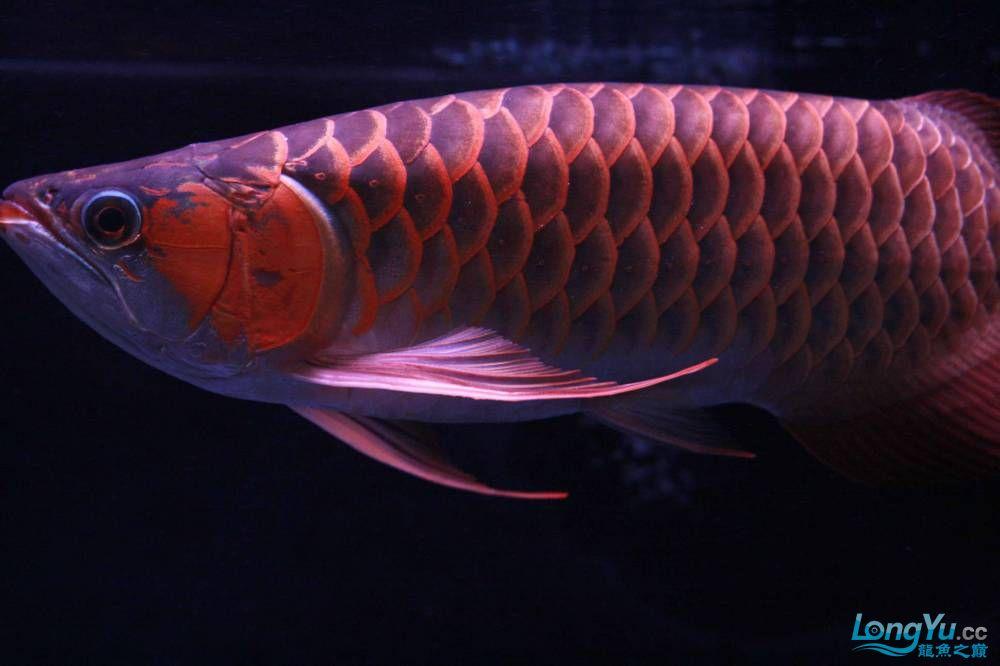 发色一半的红龙不同灯光效果请狠批 西安观赏鱼信息 西安博特第5张