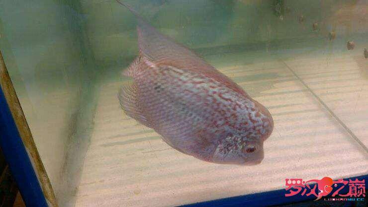 【西安细线银板鱼】雜圖 西安观赏鱼信息 西安博特第1张