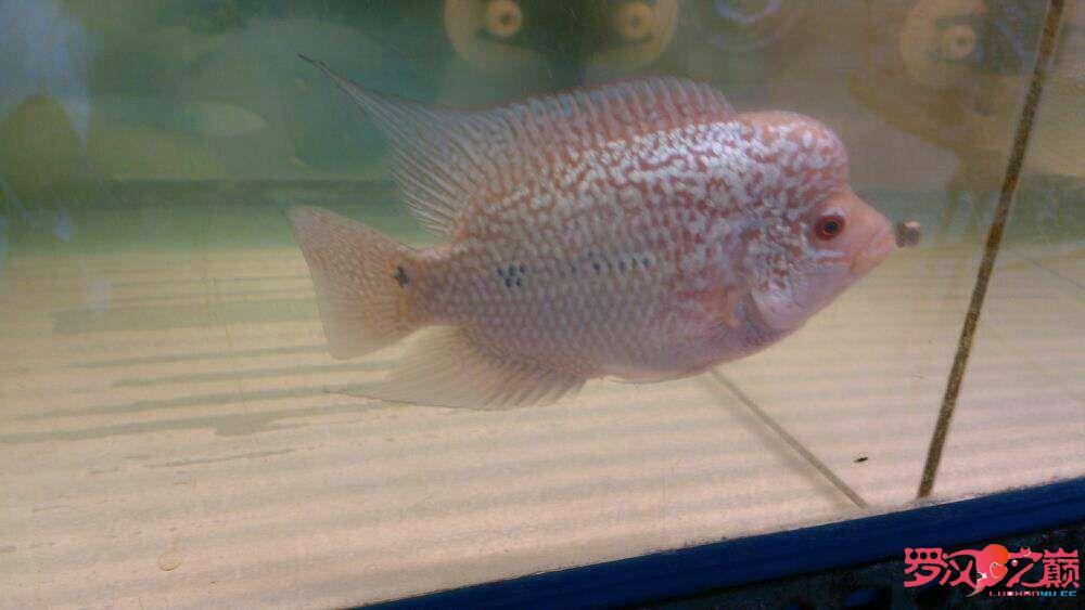 【西安细线银板鱼】雜圖 西安观赏鱼信息 西安博特第2张