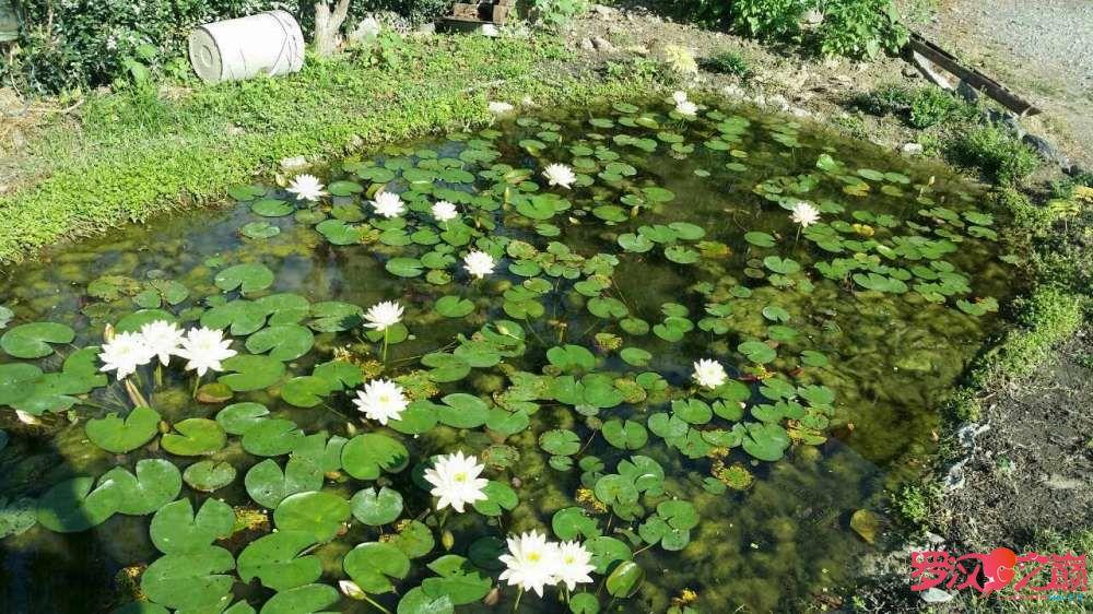 【西安细线银板鱼】雜圖 西安观赏鱼信息 西安博特第5张