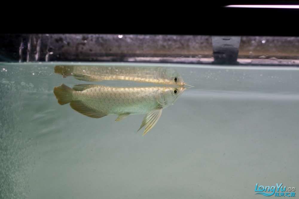 矫健幼龙一张流 西安观赏鱼信息 西安博特第1张