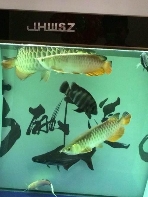 学下淡化龙鱼 西安龙鱼论坛 西安博特第2张