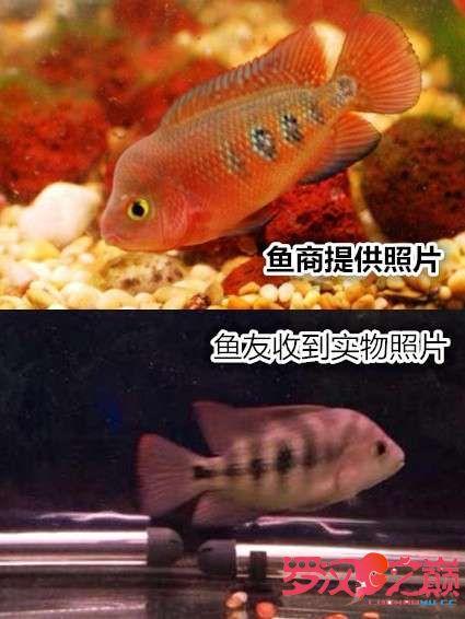 卖灯的笑了买鱼的哭了 西安龙鱼论坛 西安博特第1张