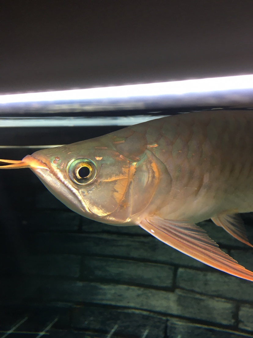 刚满30的龙是兜嘴吗? 西安观赏鱼信息 西安博特第2张