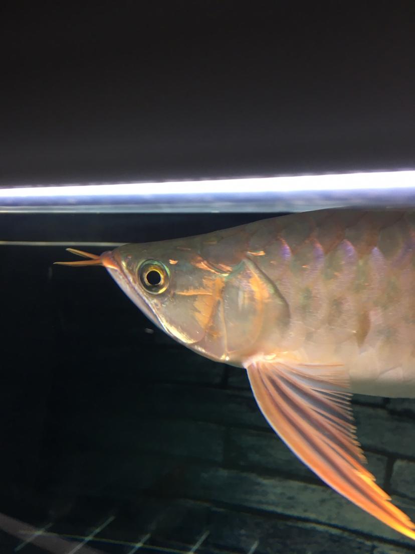 刚满30的龙是兜嘴吗? 西安观赏鱼信息 西安博特第3张