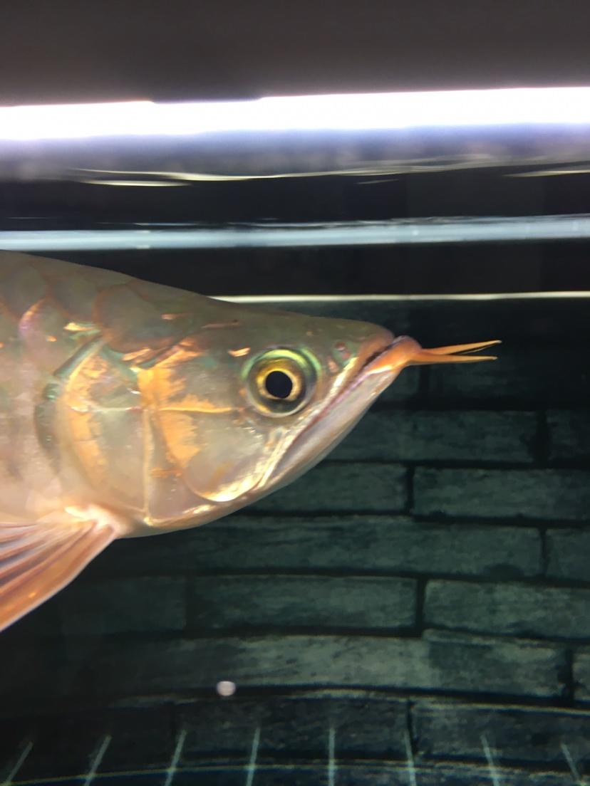 刚满30的龙是兜嘴吗? 西安观赏鱼信息 西安博特第4张