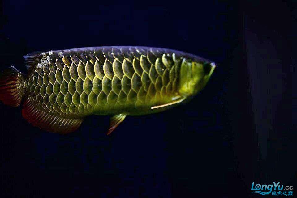 黑夜幽灵 西安观赏鱼信息 西安博特第1张