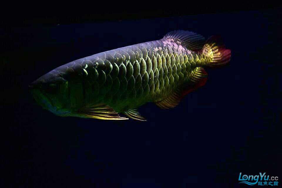 黑夜幽灵 西安观赏鱼信息 西安博特第2张