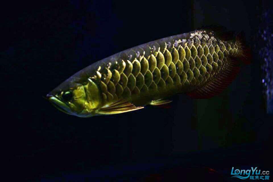 黑夜幽灵 西安观赏鱼信息 西安博特第4张