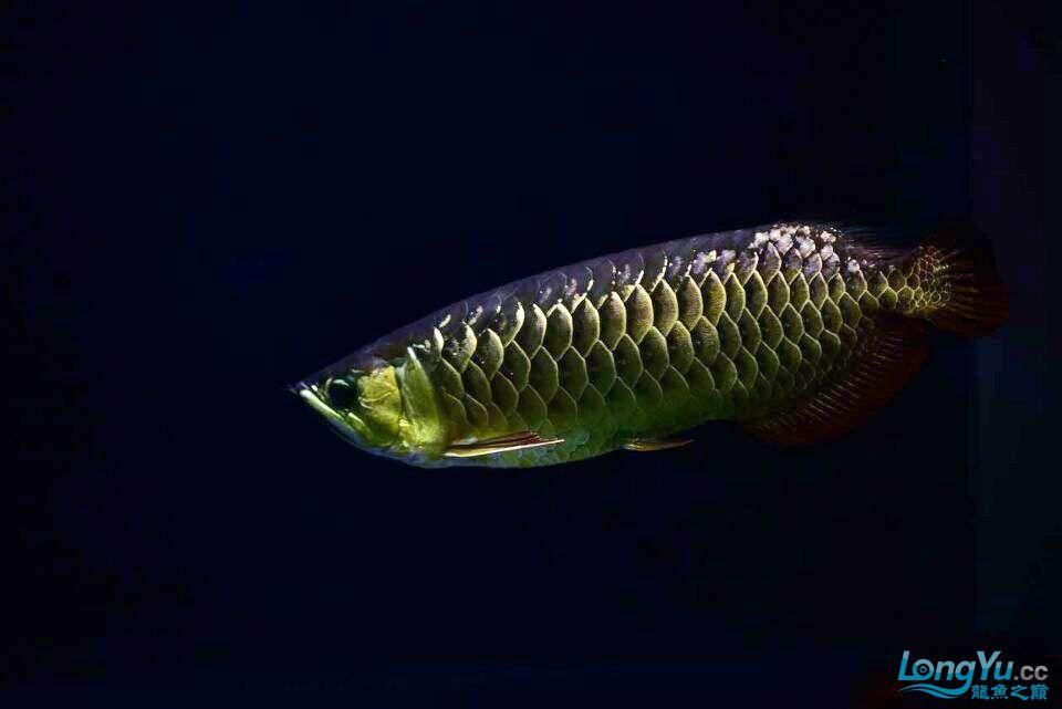 黑夜幽灵 西安观赏鱼信息 西安博特第3张