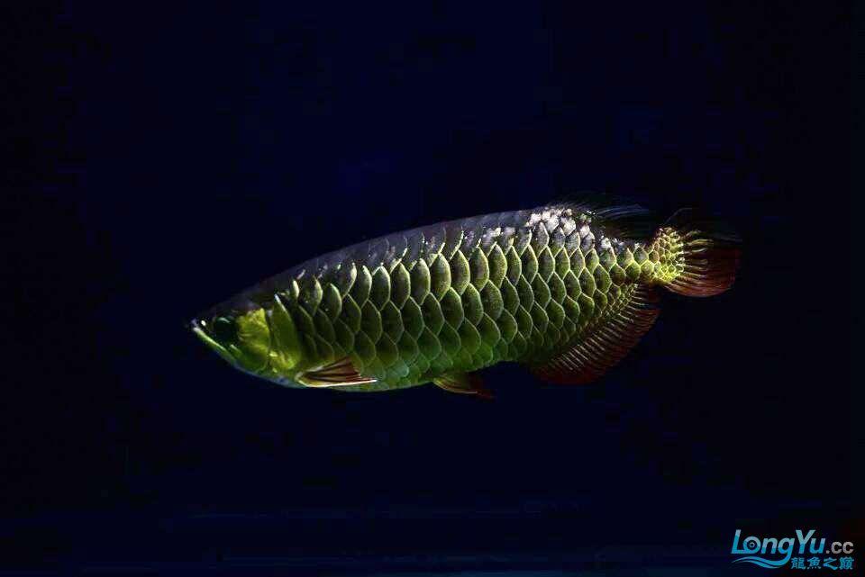 黑夜幽灵 西安观赏鱼信息 西安博特第5张