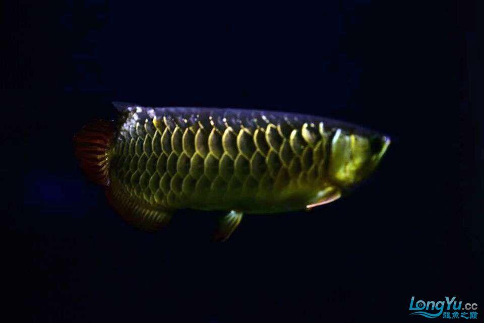 黑夜幽灵 西安观赏鱼信息 西安博特第6张
