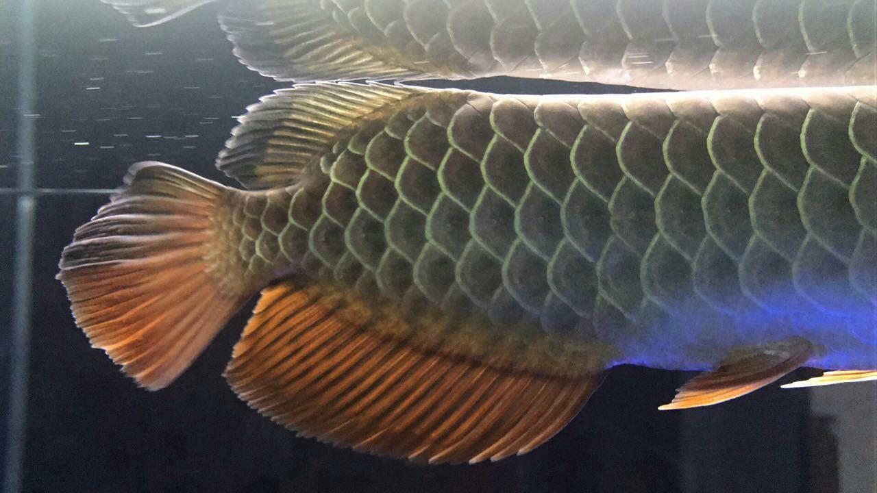 各位亲帮我看看这是什么品种?能值多钱? 西安观赏鱼信息 西安博特第3张