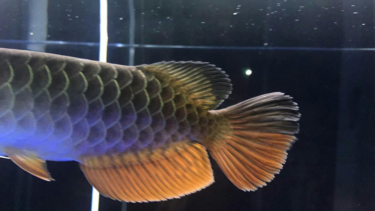 各位亲帮我看看这是什么品种?能值多钱? 西安观赏鱼信息 西安博特第4张