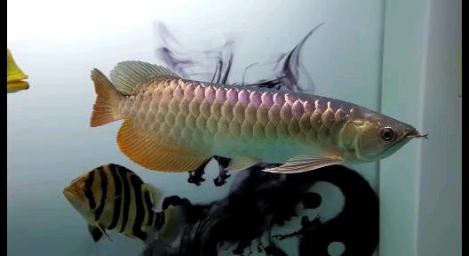 成长记录龙鱼