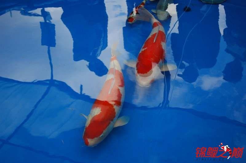 发几条不错的锦鲤让大家欣赏 西安观赏鱼信息 西安博特第5张