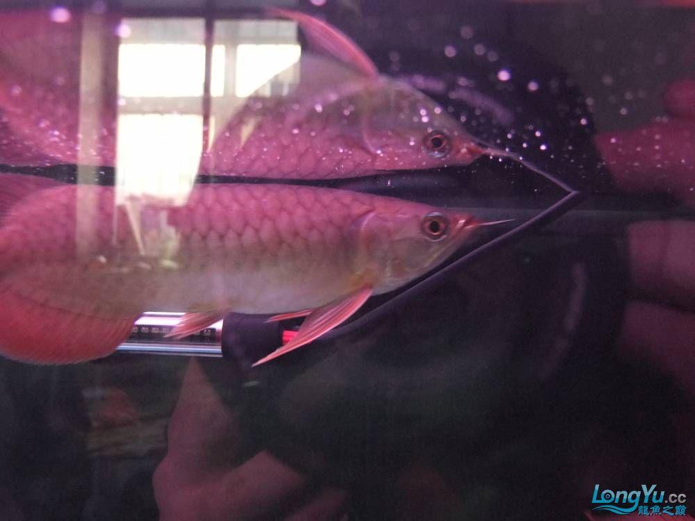 【西安女皇大帆】周老板看看 到家70天了 西安观赏鱼信息 西安博特第1张
