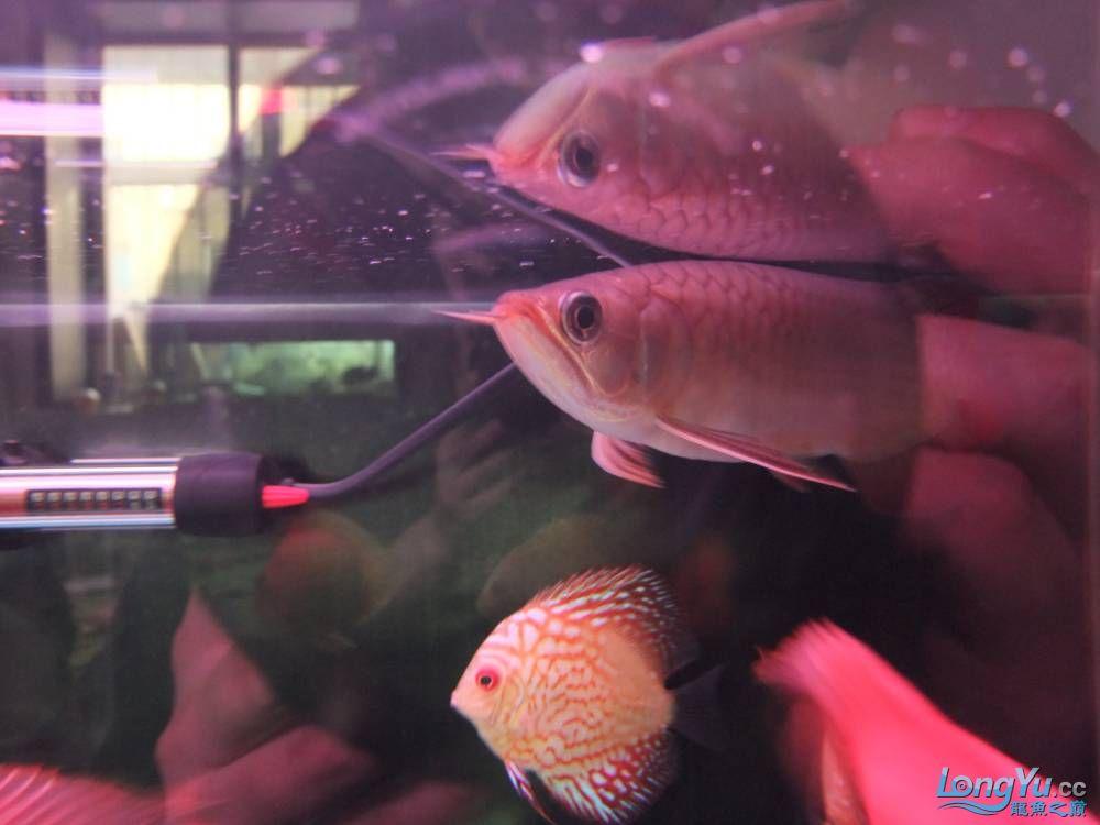 【西安女皇大帆】周老板看看 到家70天了 西安观赏鱼信息 西安博特第2张