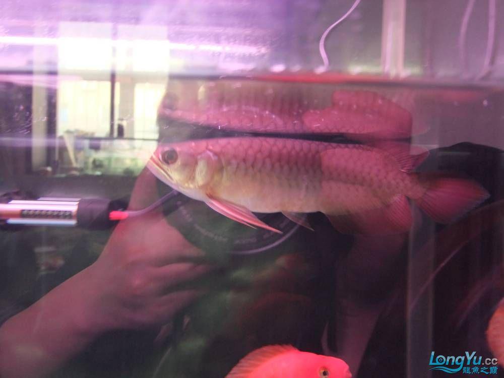 【西安女皇大帆】周老板看看 到家70天了 西安观赏鱼信息 西安博特第3张