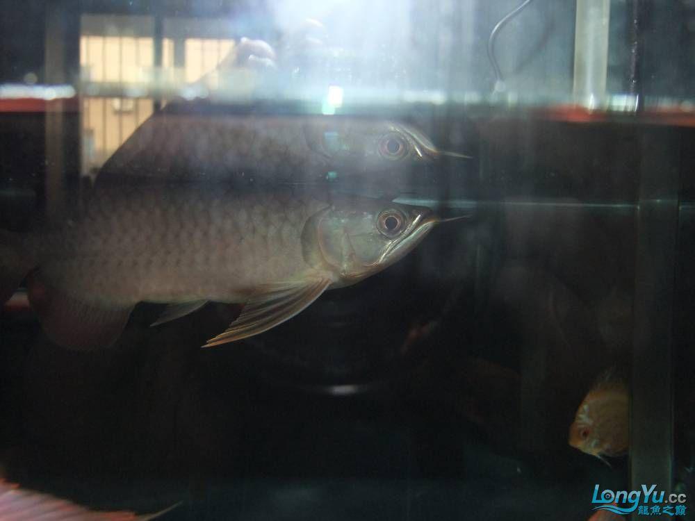 【西安女皇大帆】周老板看看 到家70天了 西安观赏鱼信息 西安博特第5张